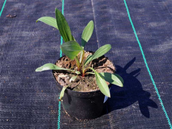 jeżówka Piccolino - echinacea Piccolino