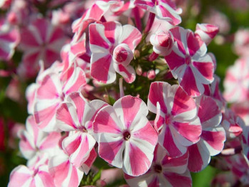 płomyk Peppermint Twist - Phlox paniculata Peppermint Twist