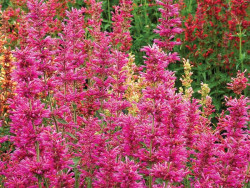 kłosowiec Summer Love - Agastache Summer Love