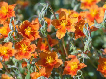 posłonek ogrodowy Watergate Orange - Helianthemum hybrida Watergate Orange