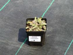 kotula mocnawa - cotula potentillina