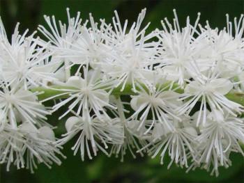 świecznica, pluskwica sercolistna - Cimicifuga racemosa var. cordifolia