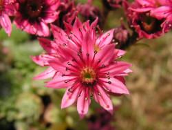 rojnik ogrodowy 1 - sempervivum x hybridum