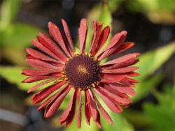 dzielżan Siesta - Helenium hybridum Siesta
