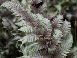 wietlica Burgundy Lace -  Athyrium nipponicum Burgundy Lace