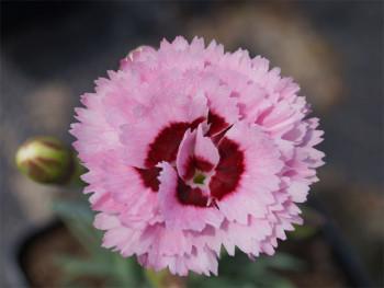 goździk Raspberry Sundae - dianthus Raspberry Sundae