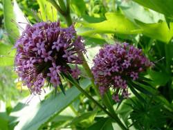 kozłówka długoszyjkowa - phuopsis stylosa