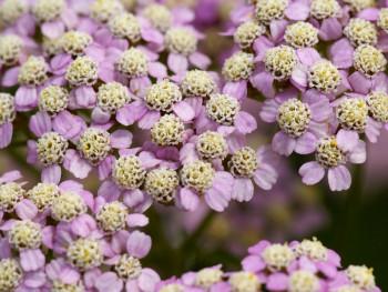 "krwawnik pospolity - achillea millefolium ""Colorado"""