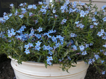 nawrot Star - Lithodora diffusa Star