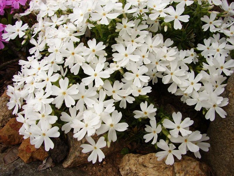 """płomyk szydlasty - phlox subulata """"Snowflake"""""""