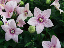 rozwar wielkokwiatowy Astra Pink - platycodon grandiflorus Astra Pink
