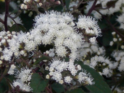 sadziec Chocolate - Eupatorium rugosum Chocolate
