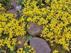smagliczka skalna - alyssum saxatile