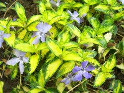 barwinek Illumination - Vinca minor Illumination
