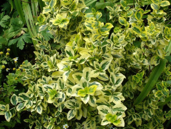 trzmielina - euonymus fortunei Emeraldn Gold