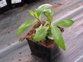 płomyk Laura - Phlox paniculata Laura