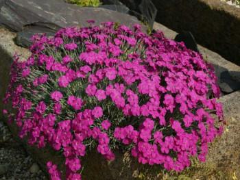 goździk siny - dianthus gratianopolitanus