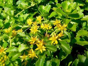 rozchodnik kamczacki - sedum kamtschaticum
