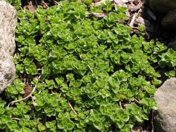 rozchodnik kaukaski - sedum spurium