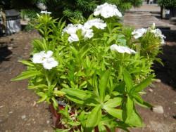goździk brodaty Barbarini White  - dianthus barbatus Barbarini White