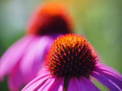 jeżówka purpurowa - echinacea purpurea