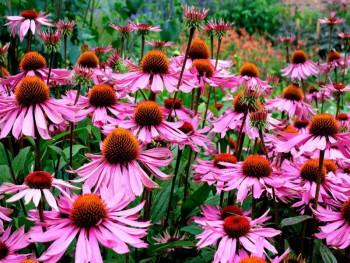 jeżówka Prairie Splendor Rose Compact - echinacea purpurea Prairie Splendor Rose Compact