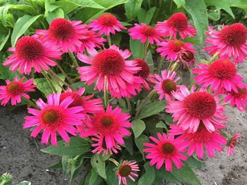 jeżówka Delicious Candy - echinacea Delicious Candy Sensation Double