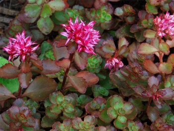 """rozchodnik kaukaski - sedum spurium """"Purpurteppich"""""""