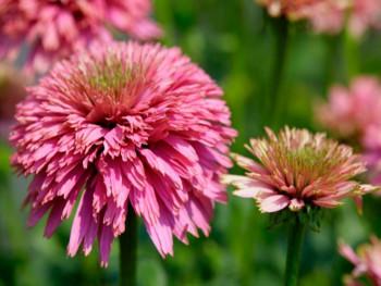 jeżówka Pink Bonbon - echinacea Pink Bonbon