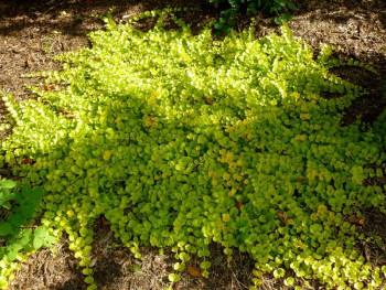 "tojeść rozesłana - lysimachia nummularia ""Aurea"""