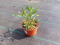 nachyłek Garnet - Coreopsis Garnet