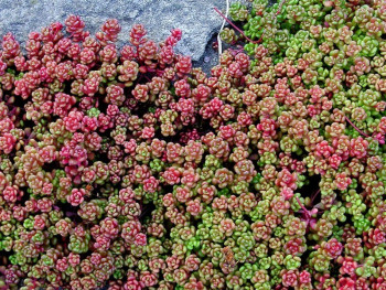 rozchodnik oregoński - sedum oreganum
