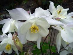 orlik White Star - aquilegia caerulea White Star