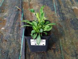 dzwonek brzoskwiniolistny  - Campanula persicifolia Grandiflora