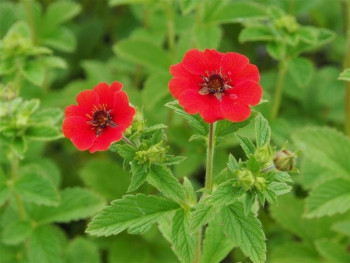 pięciornik krwisty Red - Potentilla atrosanguinea Red