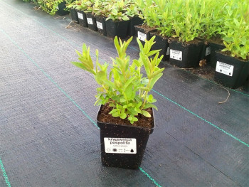 krwawnica pospolita - lythrum salicaria