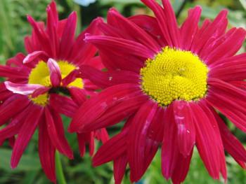 złocień różowy Robinson Red - leucanthemum coccineum Robinson Red