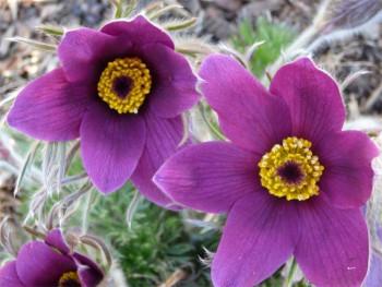 sasanka Violet Bells - Pulsatilla vulgaris Violet Bells