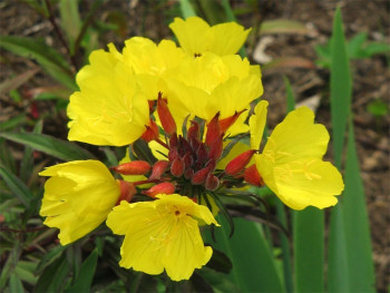 wiesiołek czworokątny - Oenothera tetragona