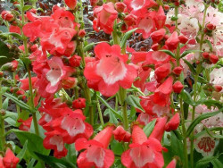 penstemon Carillo Red - penstemon x mexicali Carillo Red
