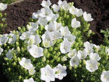 dzwonek karpacki White - campanula carpatica Pearl White