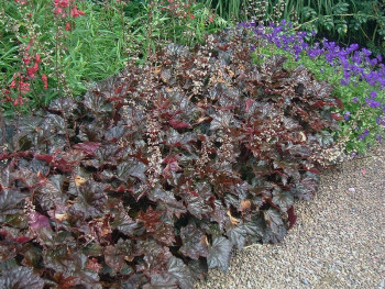 żurawka Palace Purple - heuchera Palace Purple