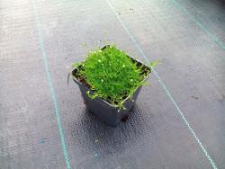 karmnik ościsty Green Moss- sagina subulata Green Moss
