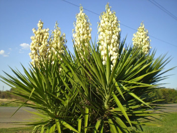 juka karolińska - yucca filamentosa