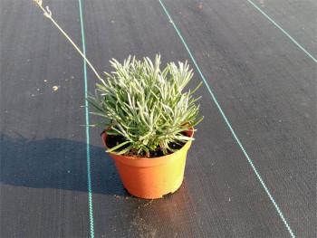 lawenda pośrednia Grappenhall - Lavandula x intermedia Grappenhall