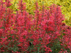 kłosowiec Kudos Coral - Agastache Kudos Coral