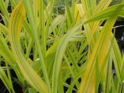 Mozga trzcinowata Arctic Sun - Phalaris arundinacea Arctic Sun