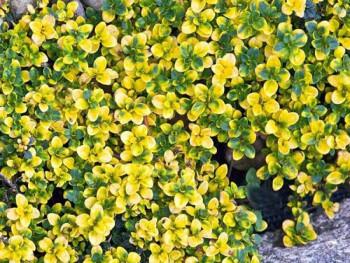 """macierzanka cytrynowa Doone Valey - thymus x citriodorus """"Doone Valey"""""""