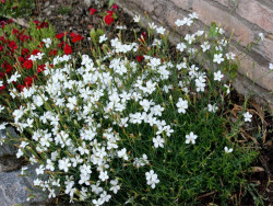 goździk kropkowany Albus - Dianthus deltoides Albus