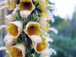 naparstnica rdzawa Gelber Herold - digitalis ferruginea Gelber Herold